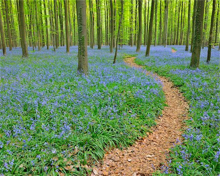 Path through Beech Forest with Bluebells in Spring, Hallerbos, Halle, Flemish Brabant, Vlaams Gewest, Belgium Stock Photo - Premium Royalty-Free, Code: 600-06752586