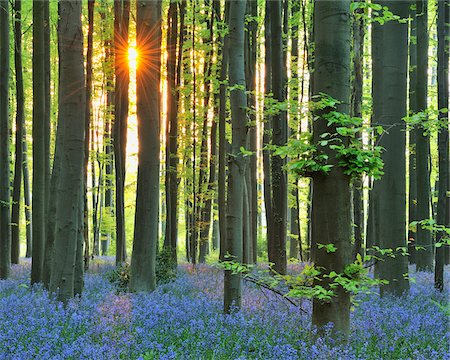 season - Sun through Beech Forest with Bluebells in Spring, Hallerbos, Halle, Flemish Brabant, Vlaams Gewest, Belgium Stock Photo - Premium Royalty-Free, Code: 600-06752587