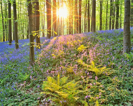 scenic and spring (season) - Sun through Beech Forest with Bluebells in Spring, Hallerbos, Halle, Flemish Brabant, Vlaams Gewest, Belgium Stock Photo - Premium Royalty-Free, Code: 600-06752589
