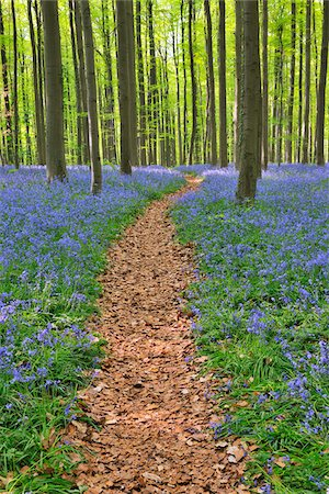 Path through Beech Forest with Bluebells in Spring, Hallerbos, Halle, Flemish Brabant, Vlaams Gewest, Belgium Stock Photo - Premium Royalty-Free, Code: 600-06752583