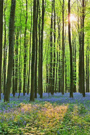 scenic and spring (season) - Sun through Beech Forest with Bluebells in Spring, Hallerbos, Halle, Flemish Brabant, Vlaams Gewest, Belgium Stock Photo - Premium Royalty-Free, Code: 600-06752594