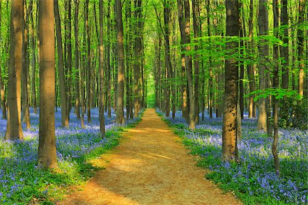 Path through Beech Forest with Bluebells in Spring, Hallerbos, Halle, Flemish Brabant, Vlaams Gewest, Belgium Stock Photo - Premium Royalty-Free, Code: 600-06752597