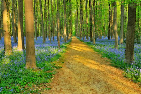 Path through Beech Forest with Bluebells in Spring, Hallerbos, Halle, Flemish Brabant, Vlaams Gewest, Belgium Stock Photo - Premium Royalty-Free, Code: 600-06752598