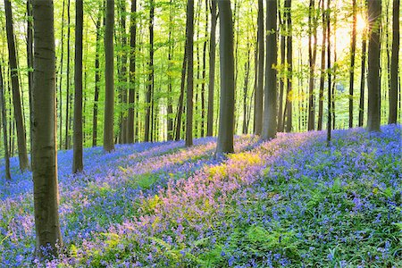 scenic and spring (season) - Sun through Beech Forest with Bluebells in Spring, Hallerbos, Halle, Flemish Brabant, Vlaams Gewest, Belgium Stock Photo - Premium Royalty-Free, Code: 600-06752590