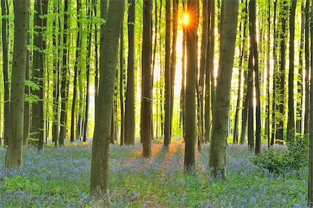 Sun through Beech Forest with Bluebells in Spring, Hallerbos, Halle, Flemish Brabant, Vlaams Gewest, Belgium Stock Photo - Premium Royalty-Free, Code: 600-06752592