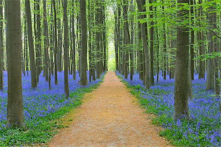 Path through Beech Forest with Bluebells in Spring, Hallerbos, Halle, Flemish Brabant, Vlaams Gewest, Belgium Stock Photo - Premium Royalty-Free, Code: 600-06752601