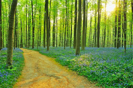 Path through Beech Forest with Bluebells in Spring, Hallerbos, Halle, Flemish Brabant, Vlaams Gewest, Belgium Stock Photo - Premium Royalty-Free, Code: 600-06752603