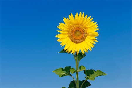 stem - Common Sunflower (Helianthus annuus) against Clear Blue Sky, Tuscany, Italy Stock Photo - Premium Royalty-Free, Code: 600-06773264