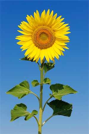 stem - Common Sunflower (Helianthus annuus) against Clear Blue Sky, Tuscany, Italy Stock Photo - Premium Royalty-Free, Code: 600-06773265