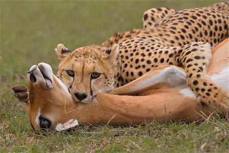 Female Adult Cheetah (Acinonyx jubatus) Strangling a Female Impala (Aepyceros melampus), Maasai Mara National Reserve, Kenya, Africa Stock Photo - Premium Royalty-Free, Code: 600-06773320