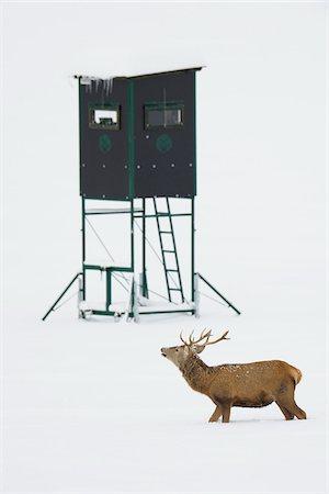 deer hunt - Male Red Deer (Cervus elaphus) in Winter, Hunting Blind in Background, Bavaria, Germany Stock Photo - Premium Royalty-Free, Code: 600-06782041