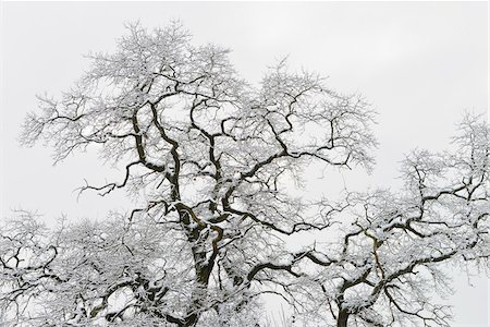 Snow Covered Branches of Old Oak Tree, Kuhkopf-Knoblochsaue Nature Reserve, Hesse, Germany Stock Photo - Premium Royalty-Free, Code: 600-06782053