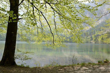 scenic and spring (season) - Spring Foliage of Common Beech (Fagus sylvatica) Tree over Langbathsee, Austria Stock Photo - Premium Royalty-Free, Code: 600-06808766