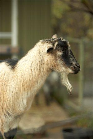 Portrait of Goat, Toronto Zoo, Toronto, Ontario, Canada Stock Photo - Premium Royalty-Free, Code: 600-06808823
