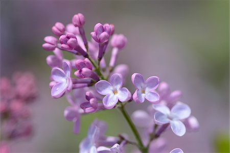 purple - Close-up of Common Lilac (Syringa vulgaris) in Garden in Spring, Bavaria, Germany Stock Photo - Premium Royalty-Free, Code: 600-06808842