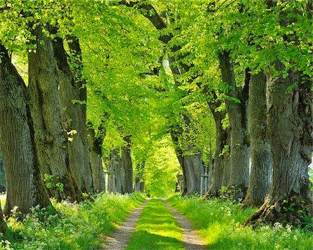 Lime Tree Allee, Kurfurstenallee, Marktoberdorf, Ostallgau, Bavaria, Germany Stock Photo - Premium Royalty-Free, Code: 600-06803887