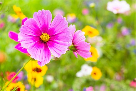 flowers - Close-up of Cosmos in Wild Flower Garden, Mainau Island, Baden-Wurttemberg, Germany Stock Photo - Premium Royalty-Free, Code: 600-06803907