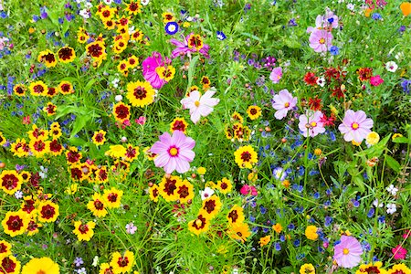 Cosmos and Rudbeckia in Wild Flower Garden, Mainau Island, Baden-Wurttemberg, Germany Stock Photo - Premium Royalty-Free, Code: 600-06803915