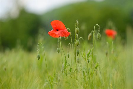 spring flowers - Close-up of a corn poppy (Papaver rhoeas) in a barley field in spring, Bavaria, Germany Stock Photo - Premium Royalty-Free, Code: 600-06841494
