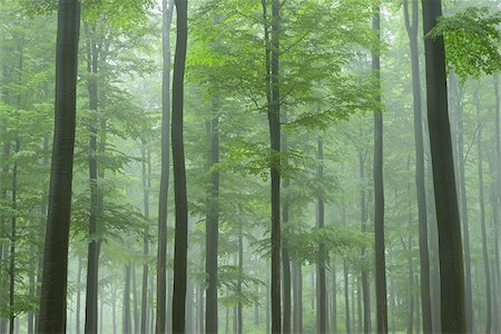 forest - Beech forest (Fagus sylvatica) in early morning mist, Spessart, Bavaria, Germany, Europe Stock Photo - Premium Royalty-Free, Code: 600-06841675