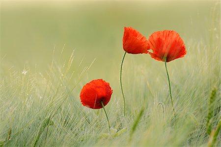 Red Poppies (Papaver rhoeas) in Barley Field, Hesse, Germany, Europe Stock Photo - Premium Royalty-Free, Code: 600-06841709