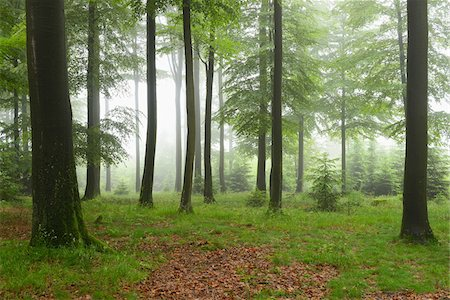 forest - Beech forest (Fagus sylvatica) in early morning mist, Spessart, Bavaria, Germany, Europe Stock Photo - Premium Royalty-Free, Code: 600-06841715