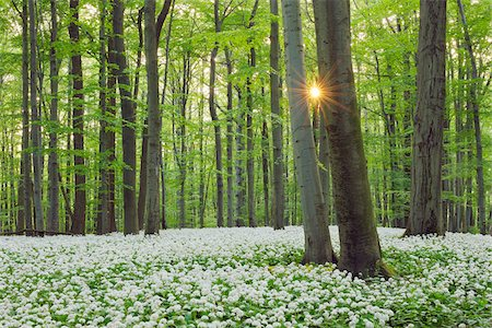 scenic and spring (season) - Ramsons (Allium ursinum) in European Beech (Fagus sylvatica) Forest in Spring, Hainich National Park, Thuringia, Germany Stock Photo - Premium Royalty-Free, Code: 600-06841796