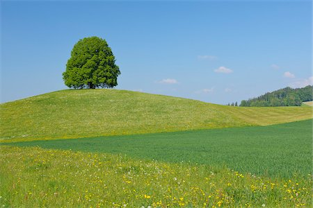 Lime Tree on Hill in Meadow, Canton of Bern, Switzerland Stock Photo - Premium Royalty-Free, Code: 600-06841844