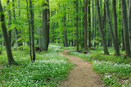 forest - Footpath through Ramsons (Allium ursinum) in European Beech (Fagus sylvatica) Forest in Spring, Hainich National Park, Thuringia, Germany Stock Photo - Premium Royalty-Free, Code: 600-06841846