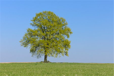 Oak Tree (Quercus) in Meadow in Spring, Bavaria, Germany Stock Photo - Premium Royalty-Free, Code: 600-06841849