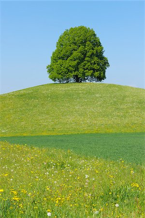 Lime Tree on Hill in Meadow, Canton of Bern, Switzerland Stock Photo - Premium Royalty-Free, Code: 600-06841843