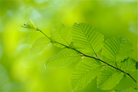 scenic and spring (season) - Close-up of Common Hornbeam (Carpinus betulus) Branch with Leaves in Spring, Bavaria, Germany Stock Photo - Premium Royalty-Free, Code: 600-06841852