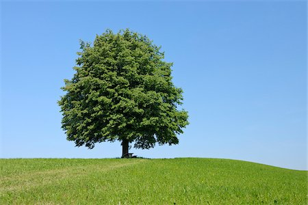 Lime Tree in Meadow in Spring, Canton of Zug, Switzerland Stock Photo - Premium Royalty-Free, Code: 600-06841887