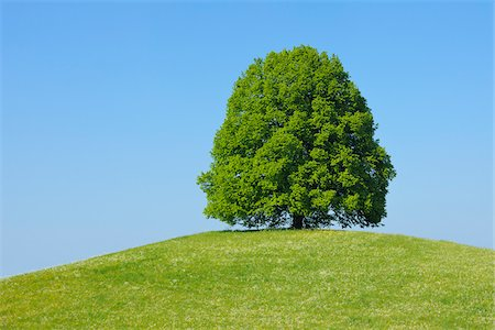 Lime Tree in on Hill in Meadow, Canton of Bern, Switzerland Fotografie stock - Premium Royalty-Free, Codice: 600-06841882
