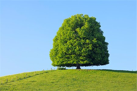 Lime Tree in on Hill in Meadow, Canton of Bern, Switzerland Stock Photo - Premium Royalty-Free, Code: 600-06841883