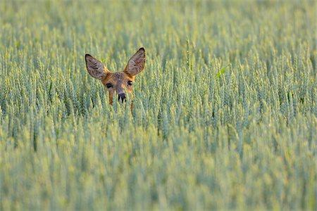 Roe Deer (Capreolus capreolus) Doe in Grain Field, Hesse, Germany Stock Photo - Premium Royalty-Free, Code: 600-06894812