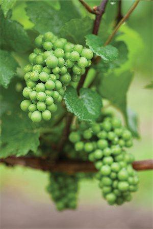Bunches of Unripe White Grapes on Vine after Rain Shower, Niagara Region, Ontario, Canada Stock Photo - Premium Royalty-Free, Code: 600-06895066