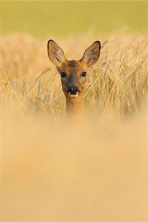 European Roe Deer (Capreolus capreolus) Doe in Barley Field in Morning, Hesse, Germany Stock Photo - Premium Royalty-Free, Code: 600-06899734