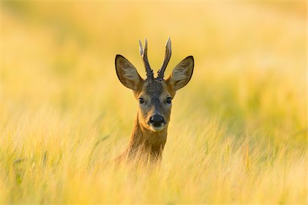 European Roebuck (Capreolus capreolus) in Barley Field in Morning in Summer, Hesse, Germany Stock Photo - Premium Royalty-Free, Code: 600-06899732