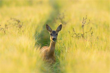 European Roe Deer (Capreolus capreolus) Doe in Barley Field in Morning, Hesse, Germany Stock Photo - Premium Royalty-Free, Code: 600-06899744