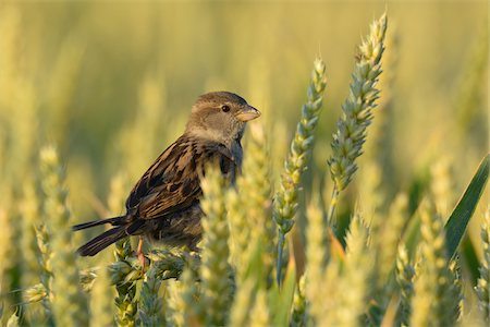 Male House Sparrow (Passer domesticus) in Wheat Field, Hesse, Germany Stock Photo - Premium Royalty-Free, Code: 600-06899747