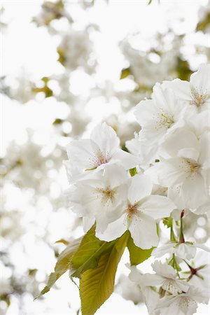 spring - Close-up of white blossoms of an apple tree, Germany Stock Photo - Premium Royalty-Free, Code: 600-06899755