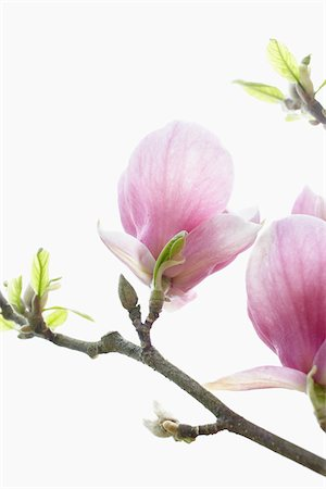 smelling - Close-up of flowering magnolia tree, Germany Stock Photo - Premium Royalty-Free, Code: 600-06899763