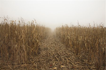 dry - Path through Dried Corn Field in Fog, Mount Albert, Ontario, Canada Stock Photo - Premium Royalty-Free, Code: 600-06892651