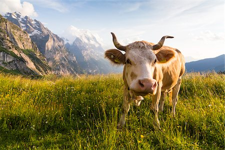 Cow wearing Bell in front of Eiger Mountain, Bernese Alps, Grindelwald, Canton of Bern, Switzerland Stock Photo - Premium Royalty-Free, Code: 600-07026605