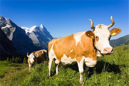 Alpine cows in front of Mount Eiger, Bernese Alps, Switzerland Stock Photo - Premium Royalty-Free, Code: 600-07066988