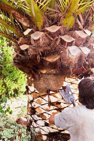 Backview of man peeling palm tree with blade, Majorca, Spain Stock Photo - Premium Royalty-Free, Code: 600-07067241