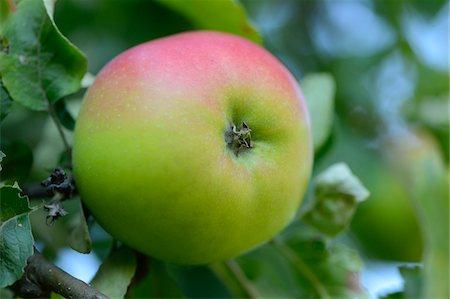 single fruits tree - Close-up of Apple on Tree, Styria, Austria Stock Photo - Premium Royalty-Free, Code: 600-07067512