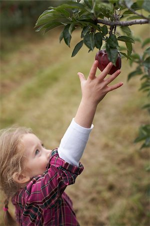 single fruits tree - Girl Picking Apples in Orchard, Milton, Ontario, Canada Stock Photo - Premium Royalty-Free, Code: 600-07110430