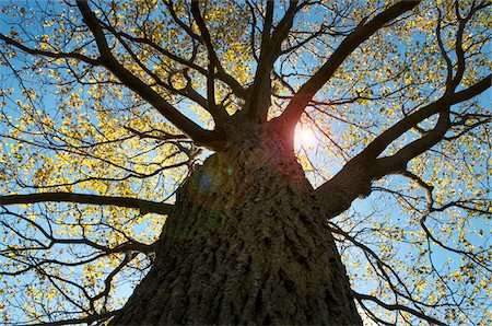 Looking up at Oak Tree Stock Photo - Premium Royalty-Free, Code: 600-07110506